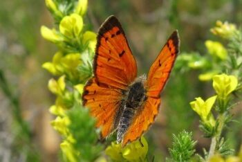 Copper Butterfly, Jonkershoek Nature Reserve, Stellenbosch, Cape Winelands