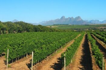 Vineyards on Meerlust Estate, just outside Stellenbosch, Cape Winelands